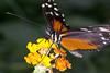 Heliconius Ismenius (Ouwesok) Tags: canoneos30d tamron2890mm sigmaem140dg heliconiusismenius passiebloemvlinder vlinder insect vlindertuin burgersmangrove