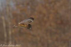Hibou des marais Short-eared Owl_3063 (JeanLe2012) Tags: asioflammeus hiboudesmarais shortearedowl strigidés