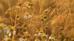 *** (pszcz9) Tags: przyroda nature natura zbliżenie closeup bokeh kwiat flower beautifulearth sony a77
