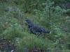 Ptarmigan (David R. Crowe) Tags: avalanche landscape nature outdooractivities phasianidae scrambling banff alberta canada