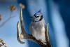 Blue Jay on Blue-46942.jpg (Mully410 * Images) Tags: frozenpantsbackground portrait backyard birder bird birds bluebackground deerantlers birdwatching bluejay antlers birding
