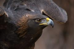 Golden Eagle (Jon David Nelson) Tags: goldeneagle aquilachrysaetos raptors birdsofprey wildlife education conservation oregon highdesert bendoregon sagebrushsteppe sagebrushsea