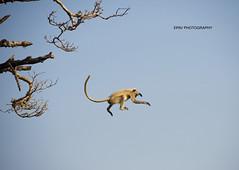 The Flying Monkey (WhiteEye2) Tags: langurmonkey wildlife nature monkey jumping ranthambhorenationalpark india