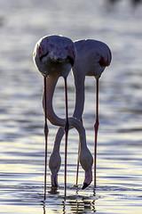 Two are better than one! (iosif.michael) Tags: nikon tamron flamingos water saltlake birds winter wildlife cyprus
