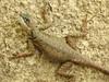 Calango (Lizard), Lagarto (Hélio Paranaíba Filho) Tags: nature natureza calango lizard lagarto squamata tropiduridae tropidurus tropidurusoreadicus