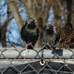 European Starlings thumbnail