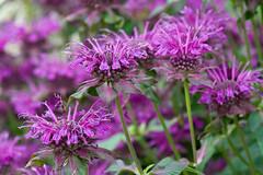 Monarda 'Scorpion' (Alan Buckingham) Tags: beebalm bergamot flower monardascorpion purple rhswisley