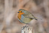 Robin The Lodge RSPB Sandy 09-12-2017-0235 (seandarcy2) Tags: robin small bird woodland the lodge rspb sandy beds uk birds