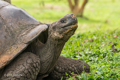 Giant Tortoise D85_1154.jpg (Mobile Lynn - Limited internet) Tags: gianttortoise wild reptiles tortoise nature fauna reptile wildlife santacruzisland galapagosislands ecuador ec coth specanimal coth5 ngc