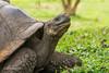 Giant Tortoise D85_1154.jpg (Mobile Lynn) Tags: gianttortoise wild reptiles tortoise nature fauna reptile wildlife santacruzisland galapagosislands ecuador ec coth specanimal coth5 ngc