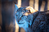 The blue hour (CecilieSonstebyPhotography) Tags: bokeh portrait eurasianlynx lynx winter endangered closeup cat canon adult snow norway january gaupe langedrag canon5dmarkiii catfamily male leif ef100400mmf4556lisiiusm animal thebluehour markiii specanimal