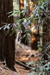Redwoods I (beloy) Tags: redwood tree forest leaves nature nikon nikkor nikkor85mmf18g california