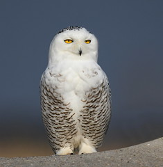 Snowy Owl (KoolPix) Tags: snowyowl owl bird beak feathers white koolpix jaykoolpix naturephotography nature wildlife wildlifephotos naturephotos naturephotographer animalphotographer wcswebsite nationalgeographic fantasticnature amazingnature wonderfulbirdphotos animal amazingwildlifephotos fantasticnaturephotos incrediblenature naturephotographywildlifephotography wildlifephotographer mothernature