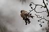 Red and gray.... (xarneymx) Tags: redpoll winter seeds bird arnhem canon gray grey rijkerswoerd vogel barmsijs