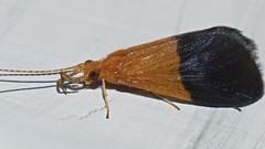moth mimic Caddis fly Hydropsychidae Trichoptera Airlie Beach rainforest P1110114 (Steve & Alison1) Tags: moth mimic caddis fly trichoptera airlie beach rainforest hydropsychidae