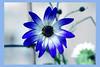 Bluish (Pensive glance) Tags: flower fleur plant plante