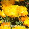 Lampranthus aurantiacus-3 (SUBENUIX) Tags: aizoaceae lampranthusaurantiacus suculentas subenuix subenuixcom planta suculent suculenta botanic botanical