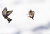 _JHS9549 (Bribes de terre) Tags: faune oiseau hiver chardonneret