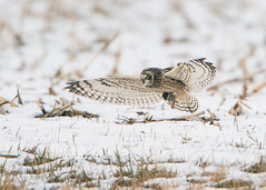 Short-eared Owl with Vole (Thomas Muir) Tags: asioflammeus tommuir field hunting nikon 600mm d800 midwest ohio woodcounty bowlinggreen flying migration animal bird raptor northamerica outdoor rodent capture prey