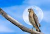 Caught!!! (chandra.nitin) Tags: animal bird male nature outdoor shikra wildlife newdelhi delhi india