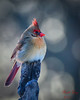 Female Cardinal - Portrait (dbking2162) Tags: birds bird nature nationalgeographic wildlife animal portrait beauty female perched red cardinal indiana