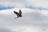 Stationary flight of the falcon (markus_langlotz) Tags: bird sky greifvogel falke falcon mouse maus rüttelflug stationaryflight animal tier wildlife telephoto catch fang observe beobachten