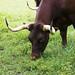 Nashville Zoo 08-21-2016 - American Milking Devons 3