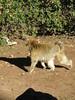 Macaque walking, Monkey Park near Azrou, Morocco (Paul McClure DC) Tags: azrou ifraneprovince morocco maroc almaghrib jan2017 middleatlas fèsmeknèsregion animals ape monkey macaque
