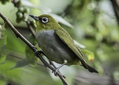 Everett's white-eye (Tokki,an idiot w/cameras & birds. 3,015,817 views) Tags: 1001nights ewe everette whiteeye tokki pungut tar bird wild