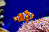 Double Fish (p.niebergall) Tags: clownfish nemo fish anemonen anemonenfisch zoo münster aquarium blue lumix 75mm olympus