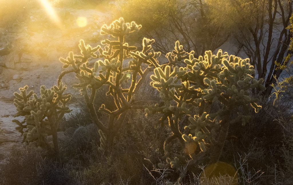 Cholla in Catavina