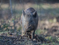 Wild Boar (Juv) Gloucestershire 07-01-2018-0817_3954 (seandarcy2) Tags: wild boar pigs wildlife woodland forest dean gloucestershire uk