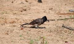 red-vented bulbul (DineshMunuswamy) Tags: canon canon1300d canonindia chennaiphotography redventedbulbul bird