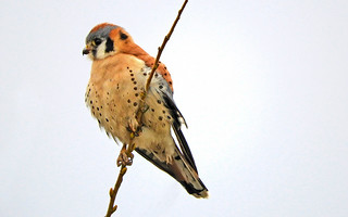 American Kestrel on a cold winter day (explored)