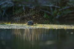 European Otter (Benjamin Joseph Andrew) Tags: winter mammal aquatic freshwater stream predator shaking splashing spray