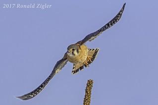 American Kestrel in flight IMG_6474