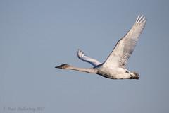 Trumpeter Swan (Matt Shellenberg) Tags: trumpeter swan trumpeterswan riverlands migratory sanctuary riverlandsmigratorybirdsanctuary