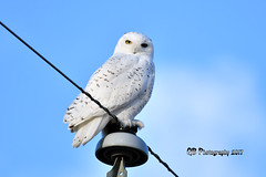 Snowy Owl DSC_4152 (Ron Kube Photography) Tags: owls bird birds nature fauna ornithology owl snowy snowyowl birdofprey raptor alberta southernalberta nikon nikond500 canada d500 ronaldok globalbirdtrekkers buboscandiacus ronkubephotography