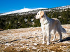 Mont- Ventoux Hiver 2017 (Hannah Adventure Dog) Tags: animal adventuredog adventure explorateur retriever pets pet randonnée trip travel paysage scenery sud ligthroom hiking hikingdog midi dog golden goldenretriever dogs dogphotography dogphoto dogphotographie doggy forêt dogtravel south southoffrance doghiking dogadventure montagne forest snow france chien hiver landscape montventoux ventoux canon canon750d canirandonnée blanc nature neige montain lubéron dogsnow