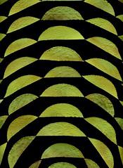 58699.01 Stewartia pseudocamellia (horticultural art) Tags: horticulturalart stewartiapseudocamellia stewartia leaves cutleaves