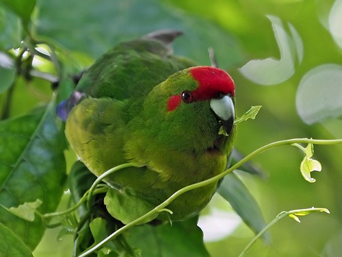 Kakariki eating its Greens.
