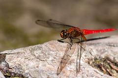 Wings Down, pt. 2 - _TNY_1491 (In Explore 29/12 2017) (Calle Söderberg) Tags: macro canon canon5dmkii canonef100mmf28usmmacro canoneos5dmarkii thailand krabi emeraldpool odonata libellulidae segeltrollslända trollslända dragonfly red orange scarlet log orthetrum testaceum skimmer orangeskimmer scarletskimmer insect f45 explore explored vividstriking 5d2 khlongthom
