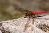 Wings Down, pt. 2 - _TNY_1491 (In Explore 29/12 2017) (Calle Söderberg) Tags: macro canon canon5dmkii canonef100mmf28usmmacro canoneos5dmarkii thailand krabi khlangthom emeraldpool odonata libellulidae segeltrollslända trollslända dragonfly red orange scarlet log orthetrum testaceum skimmer orangeskimmer scarletskimmer insect f45 explore explored vividstriking