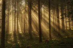 Märchenwald (clemensgilles) Tags: sunbeams nebel mist forst foret fall forest trees eifellandschaft eifel autumn germany deutschland