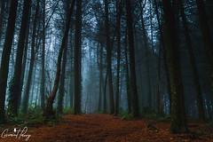The Warren (geraintparry) Tags: uk landscape light nikond3200 d3200 nikon nature caerphilly south wales outdoor morning fog foggy mist misty wood woods forest tree trees warren woodland woodlands geraint parry geraintparry