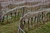 Schönberg (Harald Reichmann) Tags: niederösterreich schönberg kalvarienberg weingarten weinstock reihe zeile netz schutz verhüllung ausrichtung ordnung alltagskunst gras