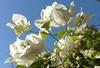 blütenweiß-pristine white (Anke knipst) Tags: bougainvillea bougainville weis white blume flower marokko morocco