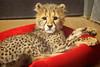 Little Princess Roketi (Penny Hyde) Tags: babyanimal bigcat cheetah cub dheetahcub safaripark
