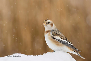 Plectrophane des Neiges, Snow Bunting