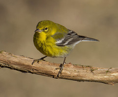 Pine Warbler, male (AllHarts) Tags: malepinewarbler backyardbirds memphistn passionforbirds coth coth5 naturescarousel ngc npc challengeclubchampions naturesspirit thesunshinegroup